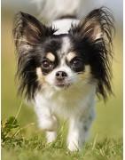 Chihuahua koszulka z twoim kochanym pupilem t-shirt na prezent ciułała