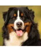 Berneński Pies Pasterski koszulka z twoim ukochanym pupilem